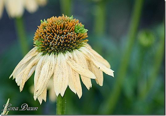 FPC_Echinacea_Sombrero_Sandy_Yellow3