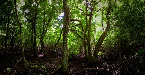 Mangrove Panorama 1
