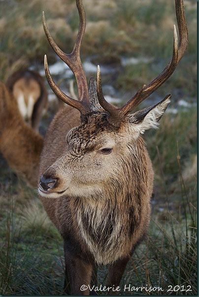 26-red-deer