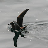 Sooty shearwater