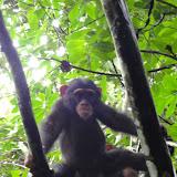 写真2 ボッソウの森のチンパンジー / Photo2 Chimpanzees in the forest of Bossou.