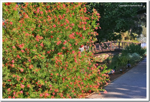 131124_UCD_Arboretum_AustralianCollection_Grevillea-thelemanniana_05