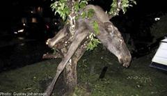 Drunken Elk