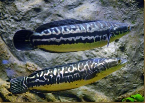 Pez Cabeza de Serpiente cobra