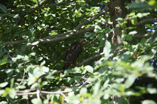 Well, judging from its size, it appears to be an immature red-tailed hawk!