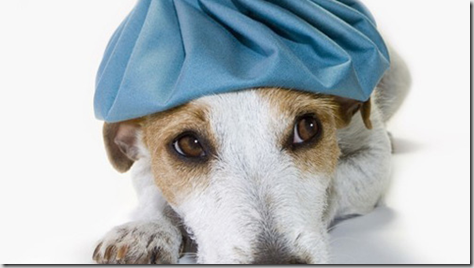 Leishmaniosi canina: terapia, quali cani trattare?
