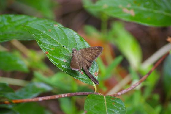 Hesperiidae : Urbanus simplicius STOLL, 1790. Layon au sud d'Amazone Nature Lodge, Montagne de Kaw. 17 novembre 2011. Photo : J.-M. Gayman