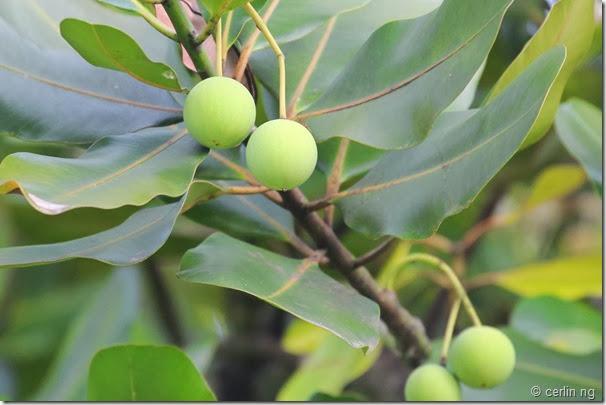 calophyllum inophyllum fruit