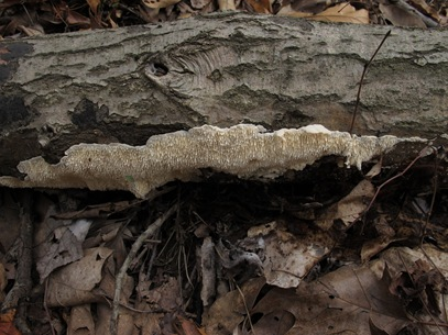 Irpex lacteus under log