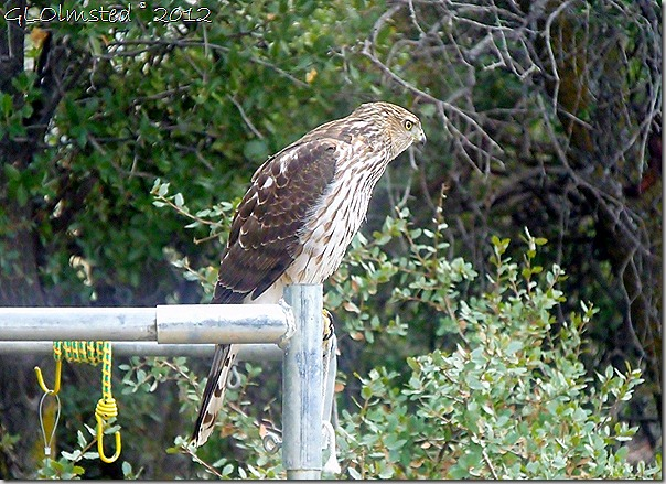 07 Immaure Cooper's Hawk Yarnell AZ (1024x742)