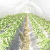 Warraichagrifarms.com-Tunel-Farming51.JPG