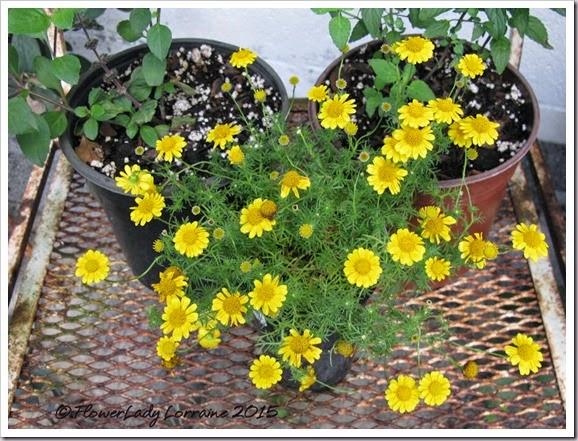 03-10-dahlburg-daisies