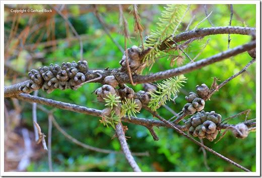 131124_UCD_Arboretum_AustralianCollection_Calothamnus-quadrifidus_02