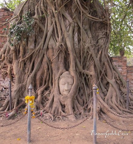 Buddha Head in the Tree Root