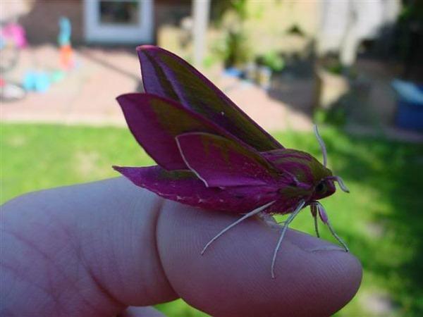 Pink Moth 00
