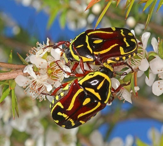 Amazing Pictures of Animals, Photo, Nature, Incredibel, Funny, Zoo, Eupoecila australasiae, fiddler beetle or rose chafer, Insecta, Alex (11)