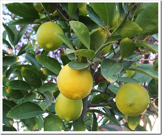 111204_lime_tree004