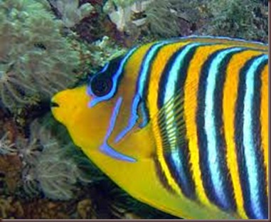 Amazing Pictures of Animals, photo Nature, exotic, funny, incredibel Zoo, Regal angelfish, Alex (5)