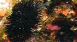 Méditerranée fonds rocheux oursin noir