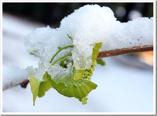 120412_ginkgo_with_snow2