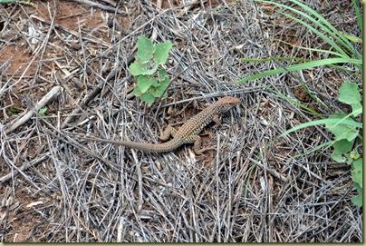 Palo Duro Lizard