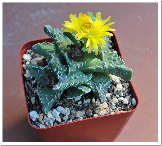 111029_Faucaria-tuberculosa_02