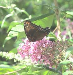 butterfly bush pink w butterfly1. 8.10.13