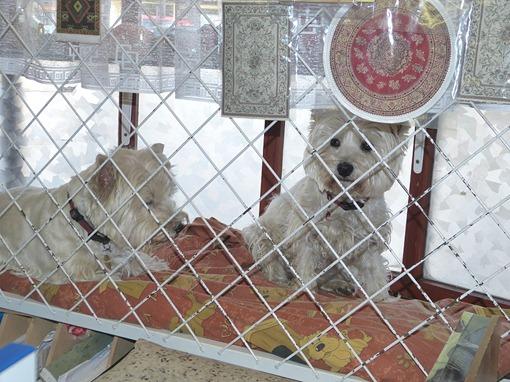 Жизнь в витрине: Вест Хайленд Уайт терьер