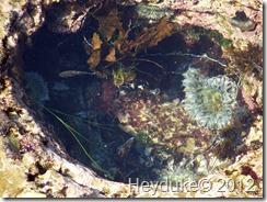 Tidal Pool Anemone