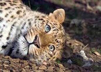 Amazing Pictures of Animals, Photo, Nature, Incredibel, Funny, Zoo, Leopard,Panthera pardus, Mammals, Carnivora, Alex (10)