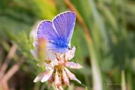 IMG_6639-blauwe-vlinder.jpg