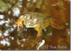 SueReno_Frog