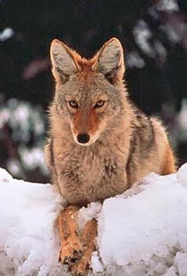 Amazing Pictures of Animals, Photo, Nature, Incredibel, Funny, Zoo, Coyote, Canis latrans, Alex (9)
