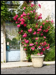brantome roses