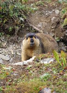 Amazing Pictures of Animals, Photo, Nature, Incredibel, Funny, Zoo, Himalayan marmot, Sciuridae, Mammalia, Alex (11)