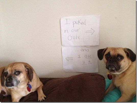 dog-shaming-bad-33