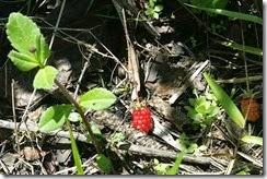 Berries growing here