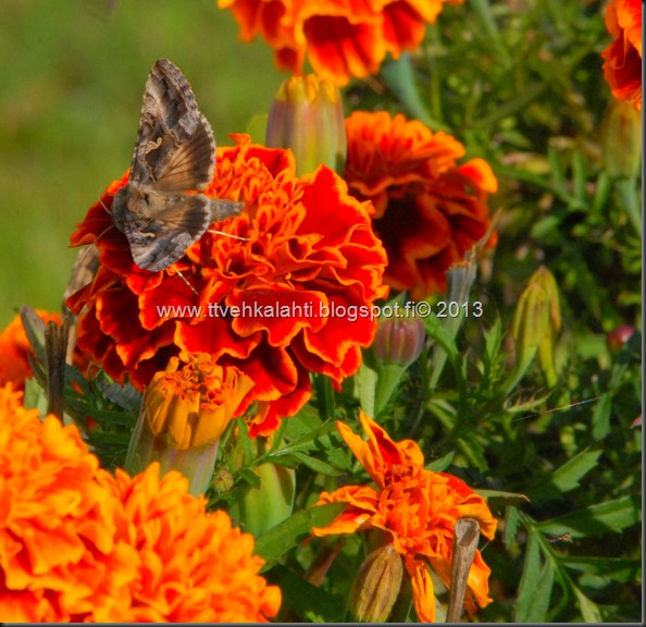 perhonen  sudenkorentoja 018