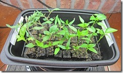 Tomato-_and_Pepper_seedlings