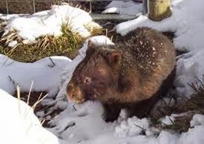 Amazing Pictures of Animals, Photo, Nature, Incredibel, Funny, Zoo, Common wombat, Vombatus ursinus, Marsupial, Mammals, Alex (5)