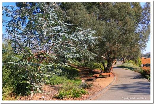 131124_UCD_Arboretum_AustralianCollection_Eucalyptus-perriniana_04