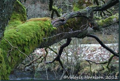 38-mossy-tree