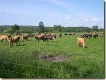 contented bovines