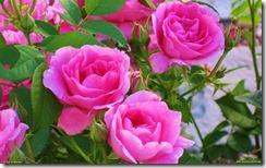 27962_roses_w_1920x1200