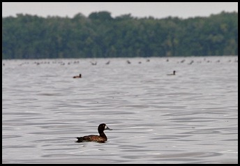 06 - Lesser Scaup Duck