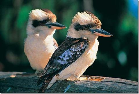 kookaburra-pair