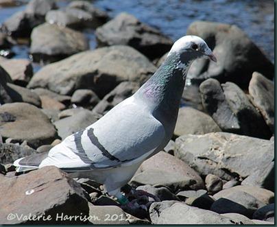 21-homing-pigeon