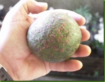 Abacate Caca   de Burro