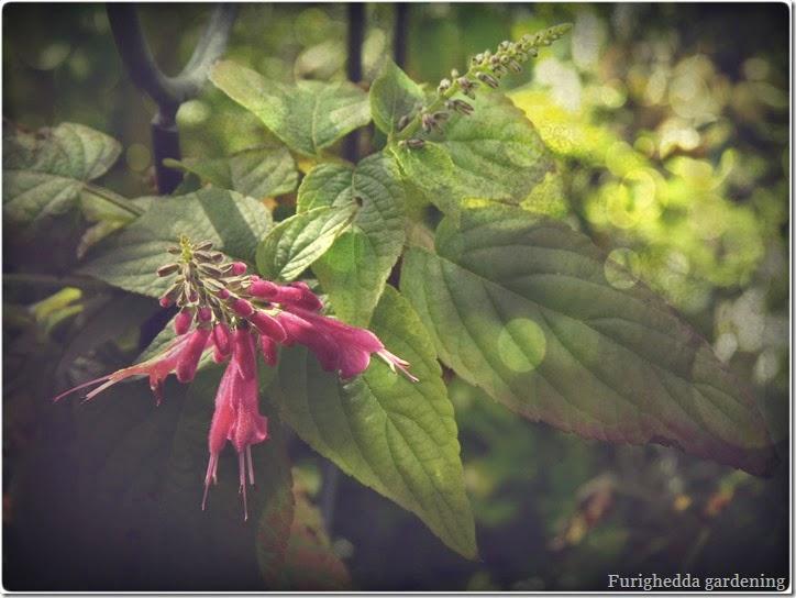 salvia con fioritura invernale