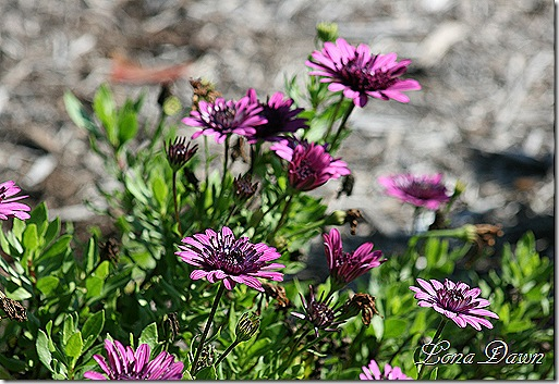 FPC_Osteospermum_Purple